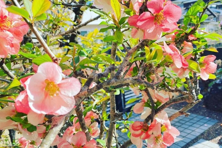 庭のボケの花が綺麗でした